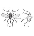 dorsal view of ensign wasp vintage vector image vector image