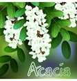 Beautiful spring flowers acacia Cards or your vector image vector image