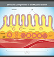 structural components mucosal barrier vector image vector image