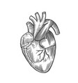 engraving human heart vector image
