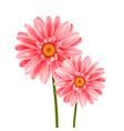 gerbera flower isolated on white background vector image