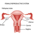 Cartoon of Female reproductive system vector image