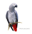 african grey parrot detailed painting vector image vector image