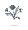 dandelion hand drawn sketch of vector image