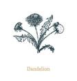 dandelion hand drawn sketch vector image