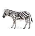 african zebra wild animal on white background vector image vector image