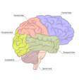 human brain organ parts anatomy diagram colorful vector image