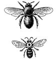 bugs anthophora vector image vector image