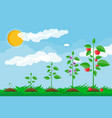 growth of plant from sprout to fruit vector image