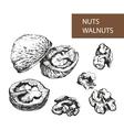 Nuts Walnuts vector image vector image