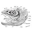 fish skull vintage vector image vector image