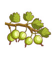 gooseberry isolated on white vector image
