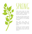 spring birch brunch with green leaves poster text vector image vector image