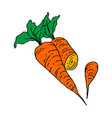 carrot outline isolated on white vector image vector image