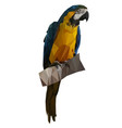 macaw in low poly style vector image