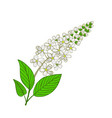 flowers of mayday tree inflorescence of panus vector image vector image