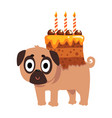 cute funny pug dog character with a festive cake vector image vector image