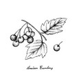 hand drawn of american cranberries on white backgr vector image vector image
