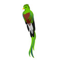 quetzal tropical exotic bird on vector image vector image