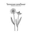 tennessee purple coneflower echinacea vector image