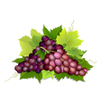 plucked bunch of grapes vector image vector image