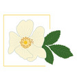 white rose hip flower with green leaf in a yellow vector image vector image