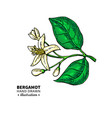 bergamot flower branch drawing isolated vector image vector image