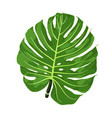 monstera vector image