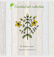 hypericum essential oil label aromatic plant vector image vector image