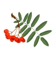 Rowan with green leaves and red berries isolated vector image vector image