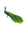 peacock tropical exotic bird on vector image