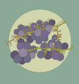 two bunches of purple grape vector image vector image