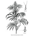 cannabis sativa male tree botanical vintage vector image vector image
