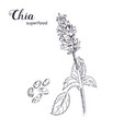 chia plant and seeds hand drawn sketch vector image