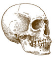 engraving of human skull vector image