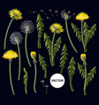 flowers dandelion isolated on black background vector image