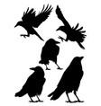 rook crow raven birds silhouette vector image vector image