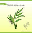 aromatic plant green or true cardamom elettaria vector image vector image