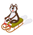 husky dog in boots rides sledge on snow vector image
