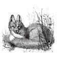 eastern american red fox vintage vector image vector image