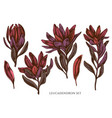 set hand drawn colored leucadendron vector image