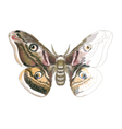 Butterfly Saturnia Pavonia vector image vector image