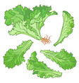 a set of lettuce leaves without vector image vector image