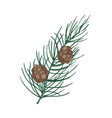 beautiful botanical drawing of pine branch with vector image vector image