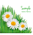 daisy flowers in green grass vector image vector image