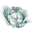 cabbage vegetable hand drawn llustration vector image