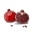 pomegranate sketch for your design vector image vector image