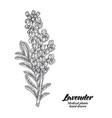 lavender branch with leaves and flowers isolated vector image vector image