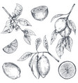 collection hand drawn fresh lemon tree vector image vector image