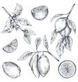 collection hand drawn fresh lemon tree vector image